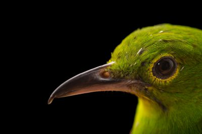 A female greater green leafbird (Chloropsis sonnerati) at the Sedgwick County Zoo.