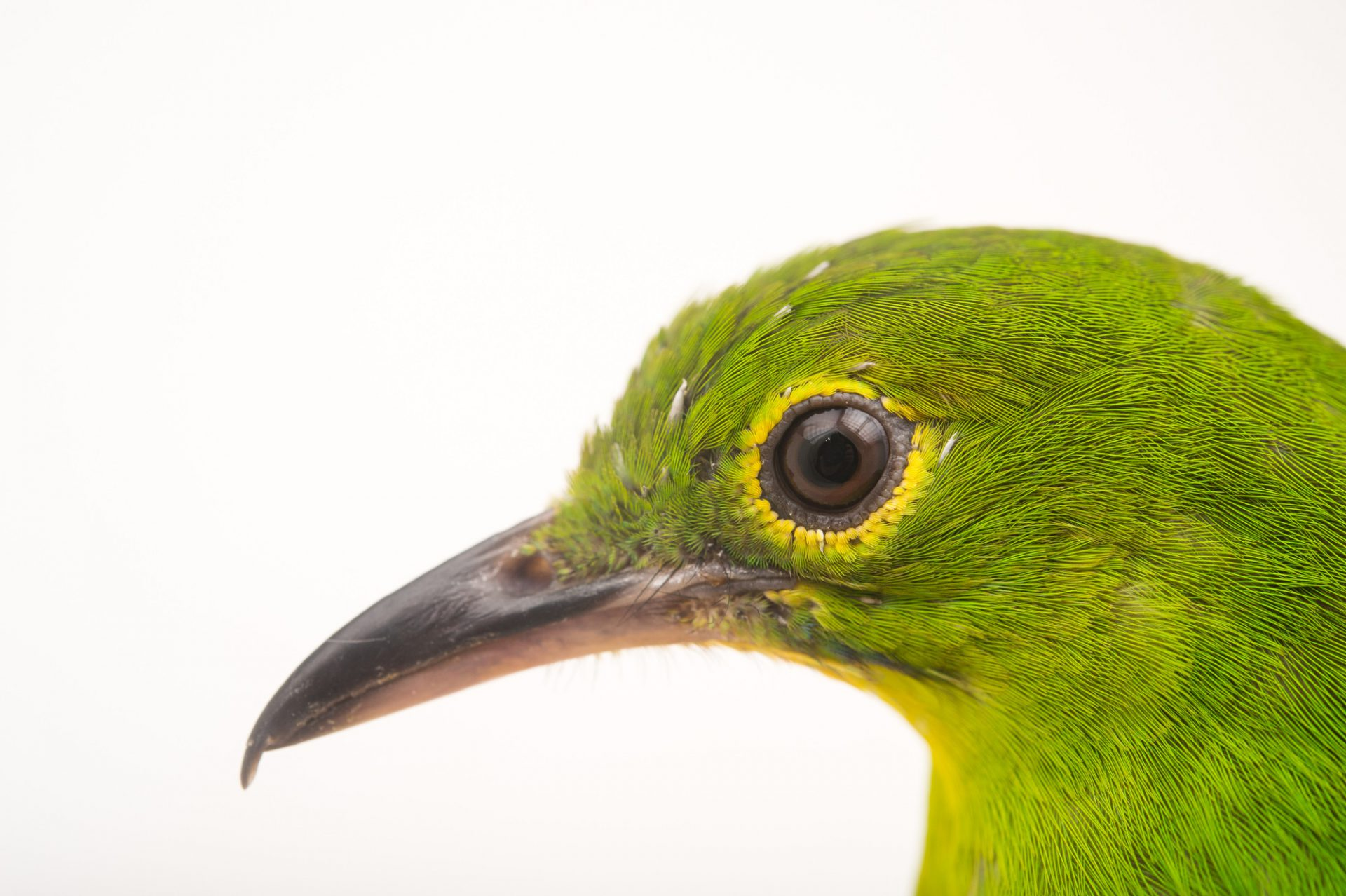 Picture of a female greater green leafbird (Chloropsis sonnerati) at the Sedgwick County Zoo.