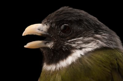Photo: A female collared finch bulbul (Spizixos semitorques) at the Sedgwick County Zoo.