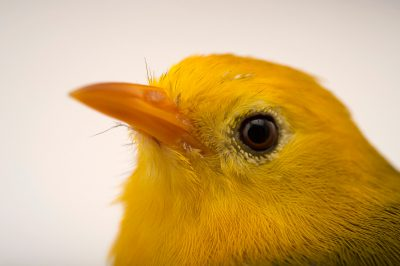 Photo: A critically endangered golden white-eye (Cleptornis marchei) at the Sedgwick County Zoo.