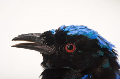 Picture of an Asian fairy bluebird (Irena puella) at the Sedgwick County Zoo.