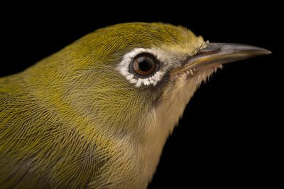 Photo: Bridled white-eye (Zosterops conspicillatus) at the Sedgwick County Zoo.