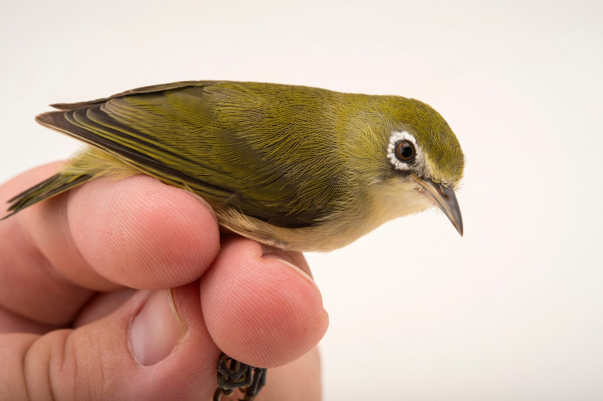 Bridled white-eye (Zosterops saypani) at the Sedgwick County Zoo. This species is listed on IUCN as Endangered.