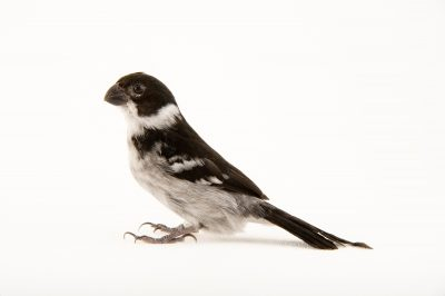 Variable seedeater (Sporophila corvina) at the Sedgwick County Zoo.