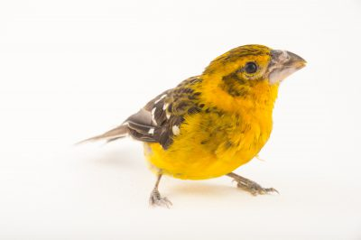 Photo: A female southern yellow grosbeak (Pheucticus chrysogaster) at the Sedgwick County Zoo.