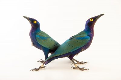 Picture of Two purple glossy starling (Lamprotornis purpureus) at the Topeka Zoo.