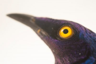 Picture of a purple glossy starling (Lamprotornis purpureus) at the Topeka Zoo.
