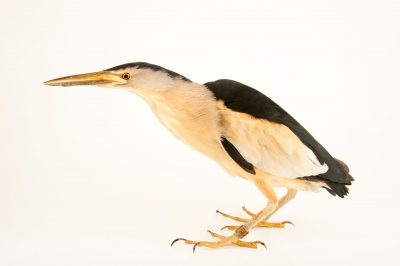 Photo: A little bittern, Ixobrychus minutus, at the Plzen Zoo.