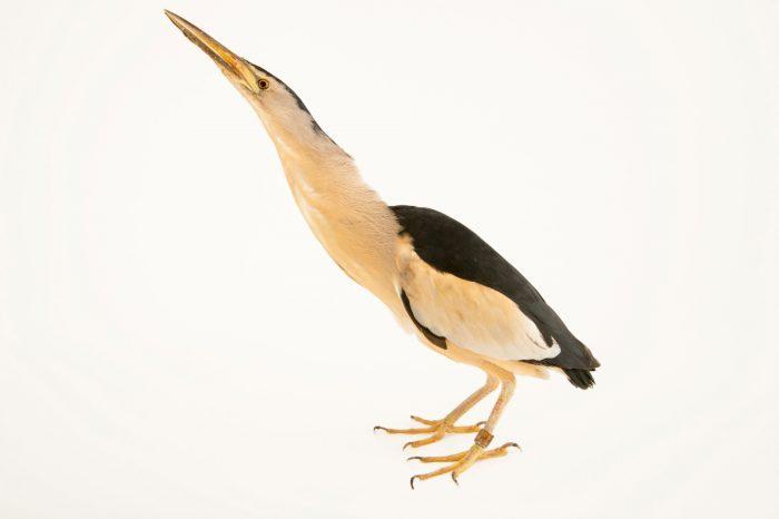 Photo: A little bittern (Ixobrychus minutus) at the Plzen Zoo.