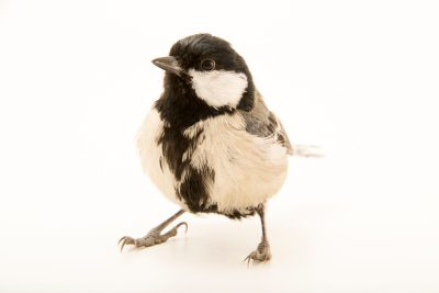 "Photo: A great tit (Parus major major) at Centro Fauna Selvatica ""Il Pettirosso""."