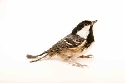 "Photo: A marsh tit (Poecile palustris italicus) at Centro Fauna Selvatica ""Il Pettirosso""."