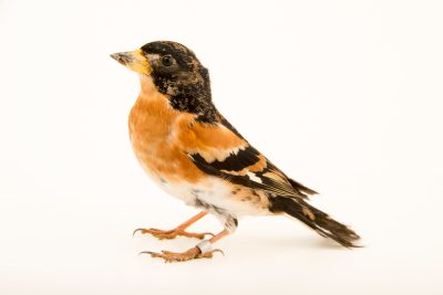 "Photo: A brambling (Fringilla montifringilla) at Centro Fauna Selvatica ""Il Pettirosso""."