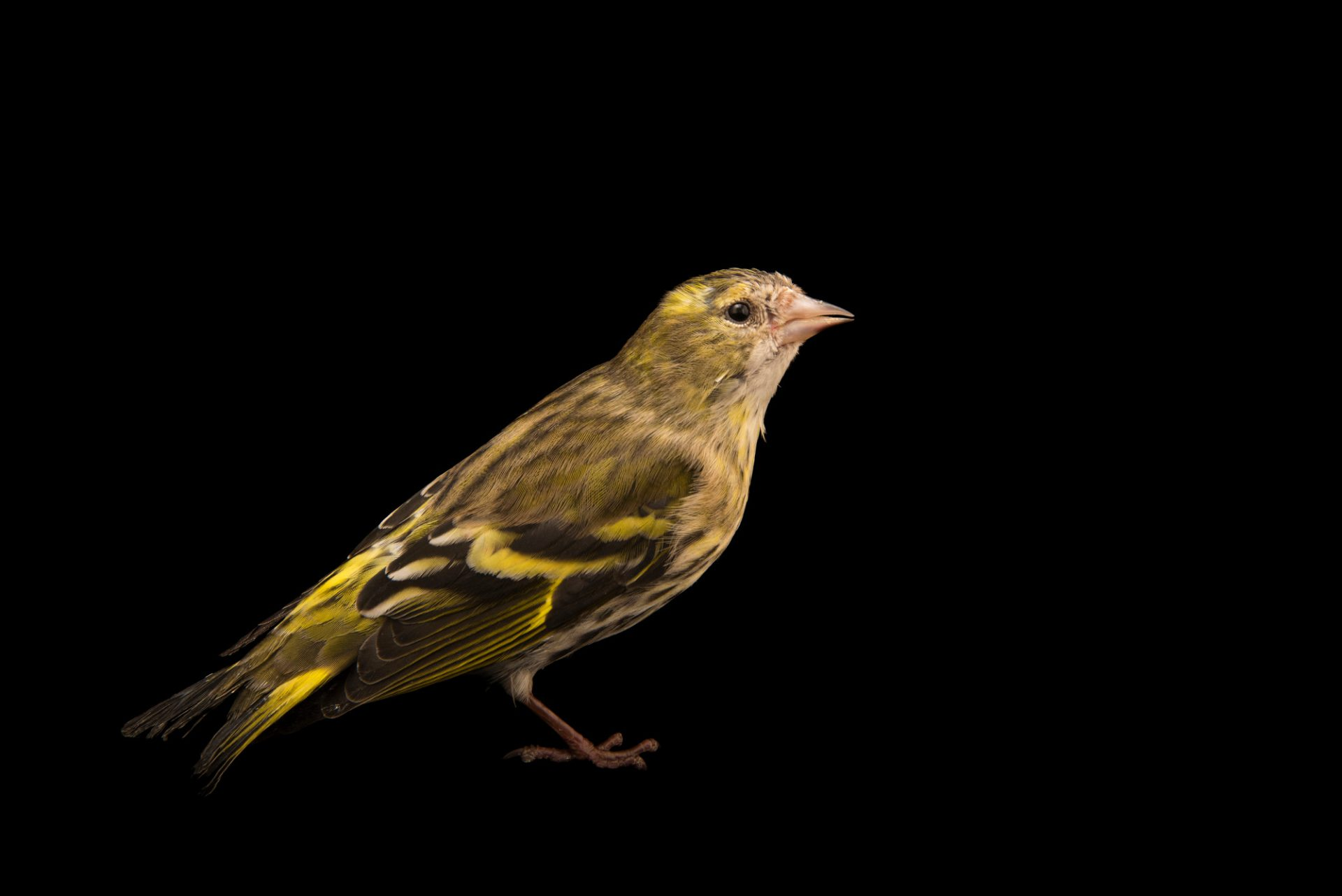 "Photo: An European serin (Serinus serinus) at Centro Fauna Selvatica ""Il Pettirosso""."