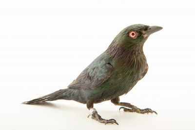 Photo: A short tailed starling (Aplonis minor) at the Plzen Zoo.