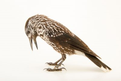 Photo: A spotted nutcracker (Nucifraga caryocatactes) at the Plzen Zoo.