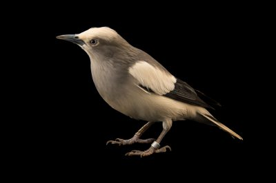 Photo: A white shouldered starling (Sturnia sinensis) at the Plzen Zoo.