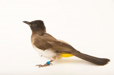 Photo: Common bulbul (Pycnonotus barbatus) at the Philadelphia Zoo.