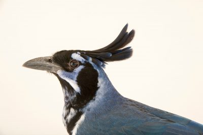 Black-throated magpie-jay (Calocitta colliei) at the San Antonio Zoo.