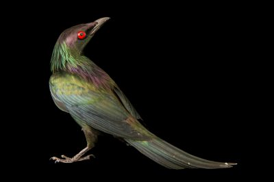 Photo: Metallic starling (Aplonis metallica) at the San Antonio Zoo