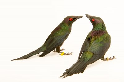 Photo: Metallic starlings (Aplonis metallica) at the San Antonio Zoo
