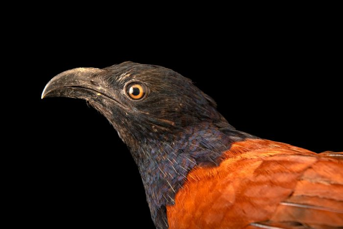 Photo: A greater coucal (Centropus sinensis bubutus) at Bali Bird Park in Bali, Indonesia.