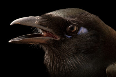 Photo: An African magpie (Pica mauritanica) at the Plzen Zoo in the Czech Republic.