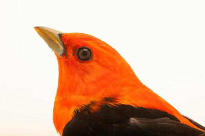 Photo: A male scarlet tanager (Piranga olivacea) at the Wildlife Rehab Center of Minnesota.