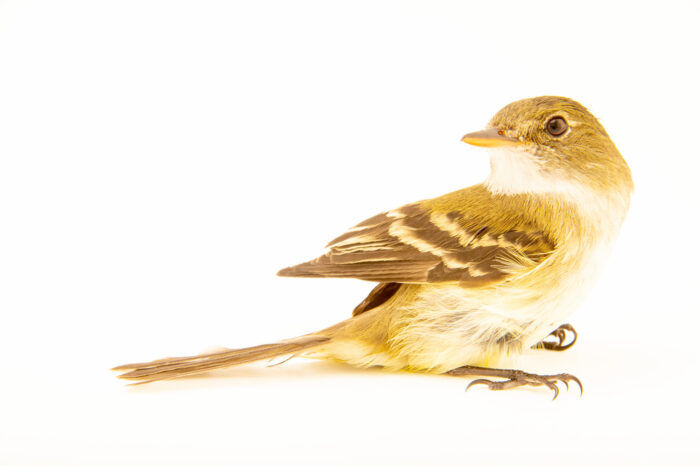 Photo: An eastern willow flycatcher (Empidonax traillii traillii) at the Wildlife Rehab Center of Minnesota.