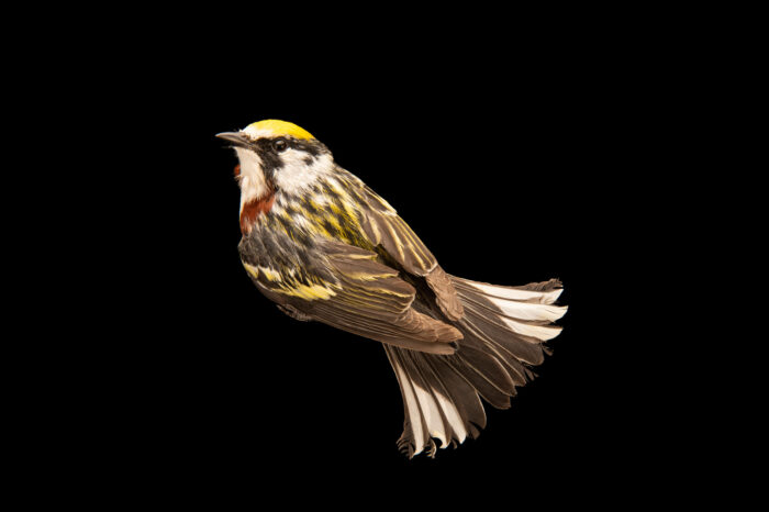 Photo: A chestnut-sided warbler (Setophaga pensylvanica) at the Wildlife Rehab Center of Minnesota.