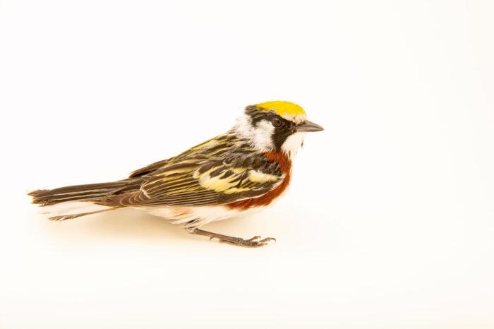 Photo: A chestnut-sided warbler (Setophaga pensylvanica) at the Wildlife Rehab Center of Minnesota.