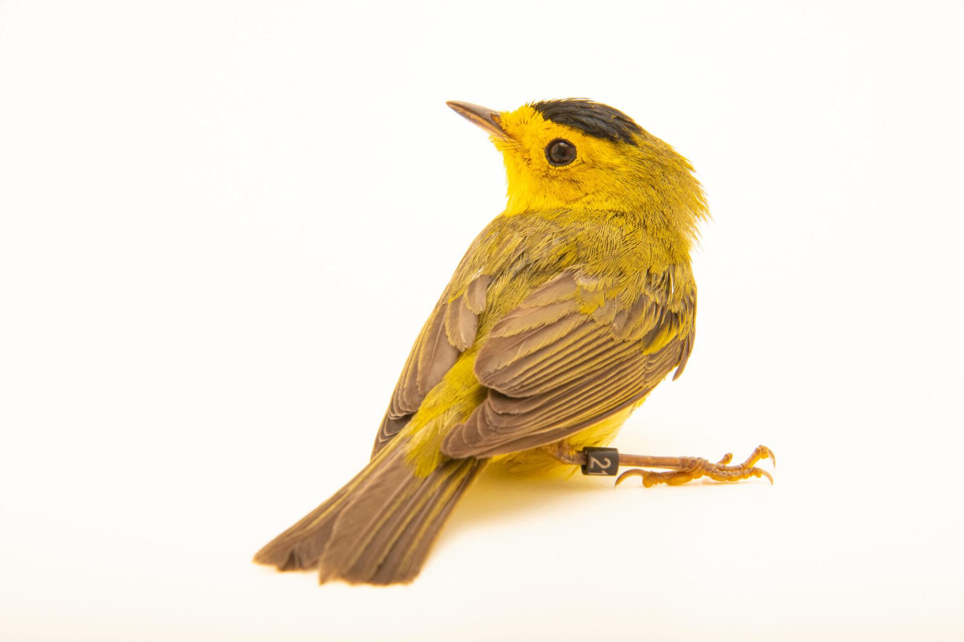Photo: A Wilson's warbler (Cardellina pusilla) at the Wildlife Rehab Center of Minnesota.