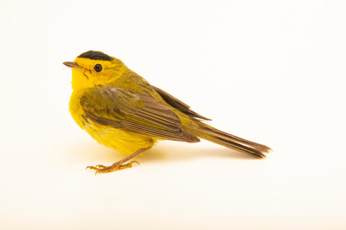 Photo: A Wilson's warbler (Cardellina pusilla) at the Wildlife Rehab Center of Minnesota.