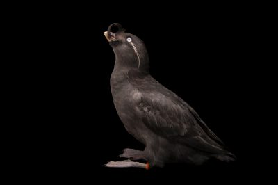 A crested auklet (Aethia cristatella) at the Cincinnati Zoo.