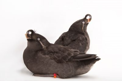 Crested auklets (Aethia cristatella) at the Cincinnati Zoo.