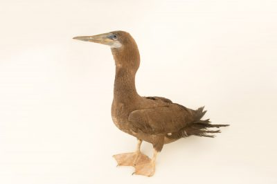 Picture of a juvenile brown booby (Sula leucogaster) at the National Aviary breeding center.