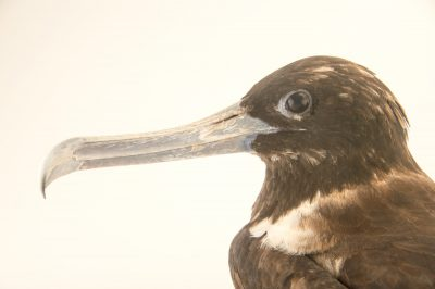 Picture of a magnificent frigatebird (Fregata magnificens) at the National Aviary breeding center.