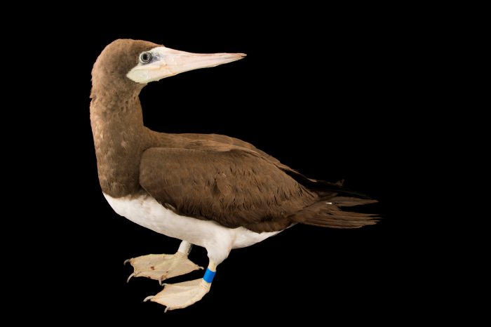 Brown booby (Sula leucogaster brewsteri) in adult plumage at International Bird Rescue Center.