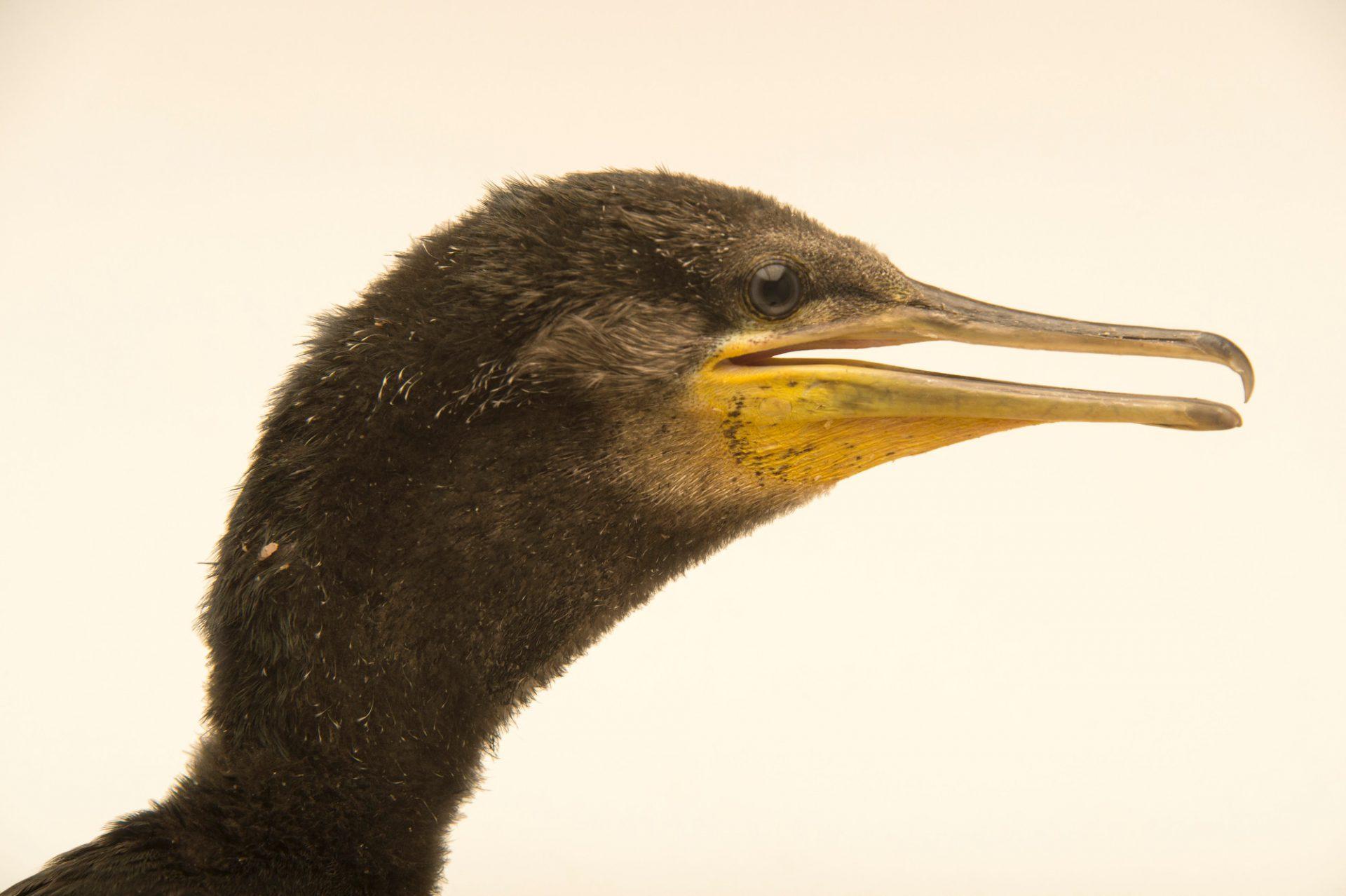 Photo: Little cormorant (Phalacrocorax niger) at Kamla Nehru Zoological Garden, Ahmedabad, India.