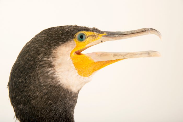 Photo: Eastern great cormorant (Phalacrocorax carbo sinensis) at the Budapest Zoo.