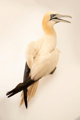 Photo: A northern gannet (Morus bassanus) at Parque Biologico.