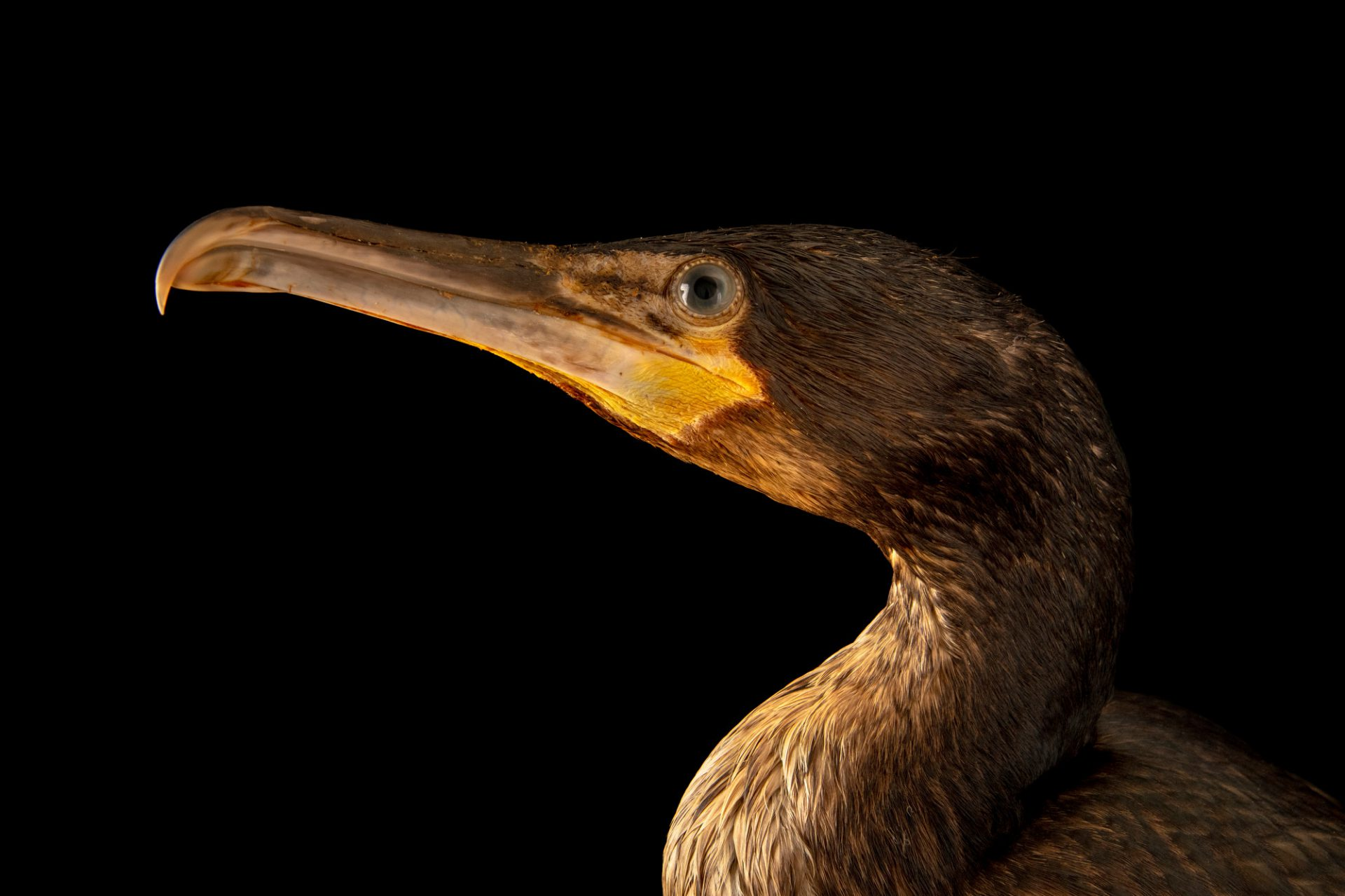 Photo: A cormorant (Phalacrocorax carbo carbo) at Hessilhead Wildlife Rescue.