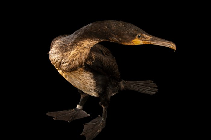 Photo: A cormorant (Phalacrocorax carbo carbo) at Hessilhead Wildlife Rescue.