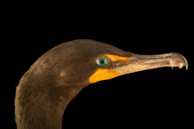 Photo: A Florida cormorant (Phalacrocorax auritus floriduanus) at the Jacksonville Zoo and Gardens, Jacksonville, Florida.