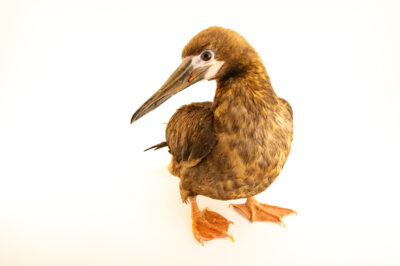 Photo: A juvenile red-footed booby (Sula sula) at Houston SPCA's Wildlife Center of Texas.