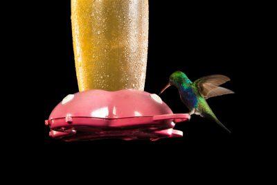 Photo: A hummingbird from the wild in Gamboa, Panama.