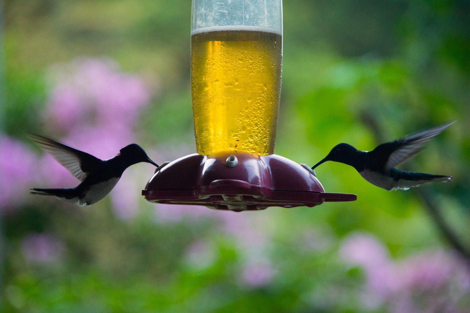 Photo: White-naped jacobin hummingbirds (Florisuga mellivora) from the wild in Gamboa, Panama.