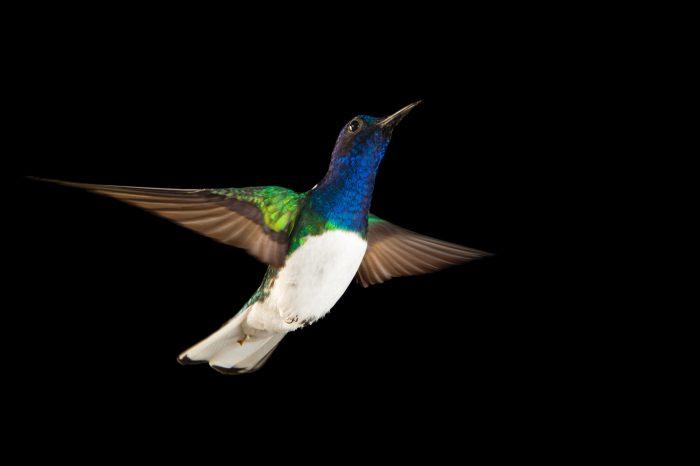 Photo: A white-naped jacobin hummingbird (Florisuga mellivora) from the wild in Gamboa, Panama.