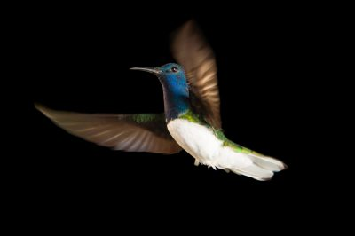 Photo: A white-naped jacobin hummingbird (Florisuga mellivora) from the wild in Gamboa, Panama.