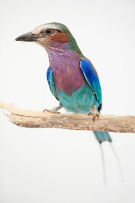 A lilac breasted roller, Coracias caudatus, at the Omaha Henry Doorly Zoo.