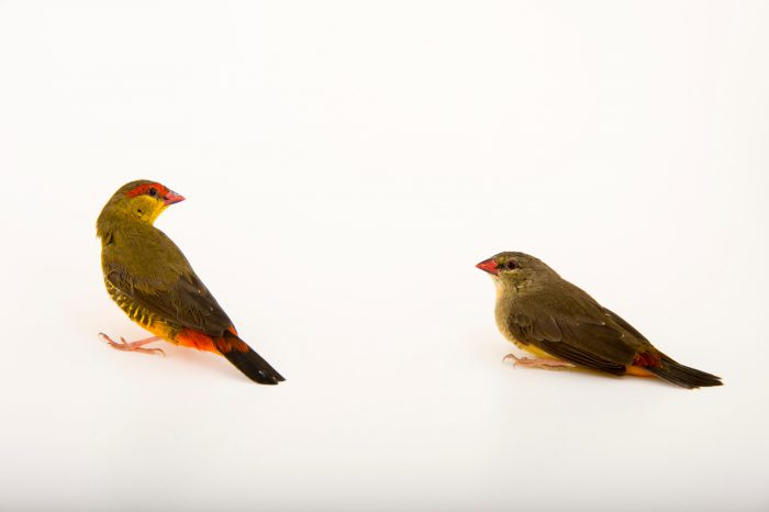 Picture of orange-breasted waxbills (Amandava subflava) from a private collection.